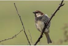 Spanish Sparrow, image: Iordan Hristov, www.NatureMonitoring.com
