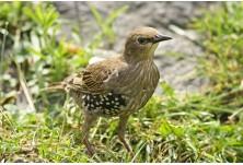 Обикновен скорец (Sturnus vulgaris) - млад, Ники Петков  http://www.naturephotos.eu/