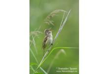 Great reed Warbler, image: Svetoslav Spasov, www.natureimages.eu