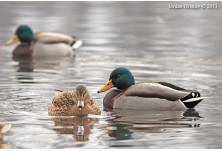 Mallard (male and female), image: Iordan Hristov, danbirder.blogspot.com